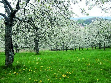 Cherry trees in bloom along Cherry County Hiking Trail